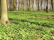 220px-AlliumUrsinumAspekt