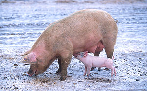 300px-Sow_with_piglet