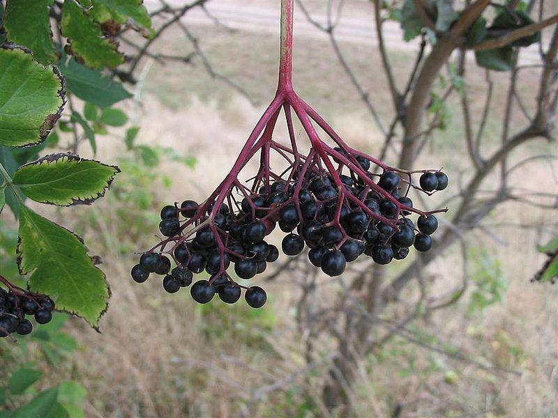 800px-Sambucus_nigra2