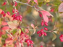 220px-Berberis_vulgaris4
