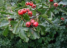 220px-Crataegus-monogyna-frugt