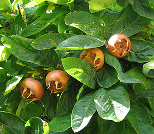 300px-Medlar_pomes_and_leaves