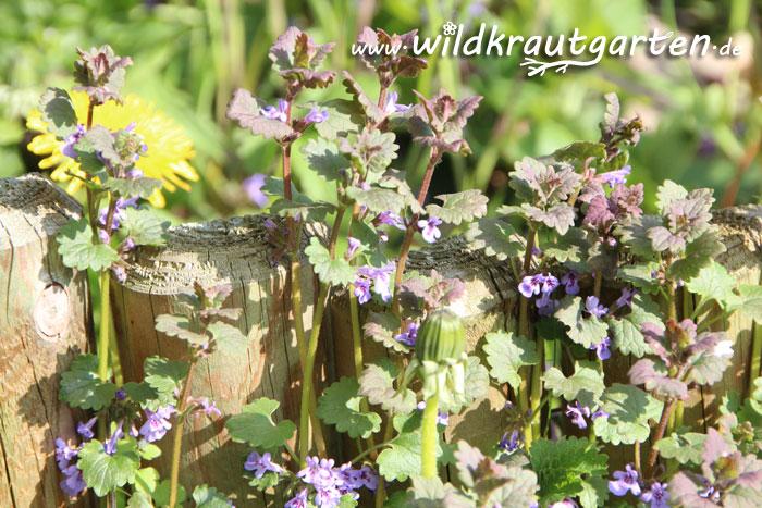 Wildkrautgarten_Gundermann01