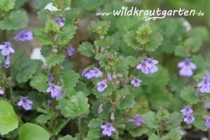 Wildkrautgarten_Gundermann02