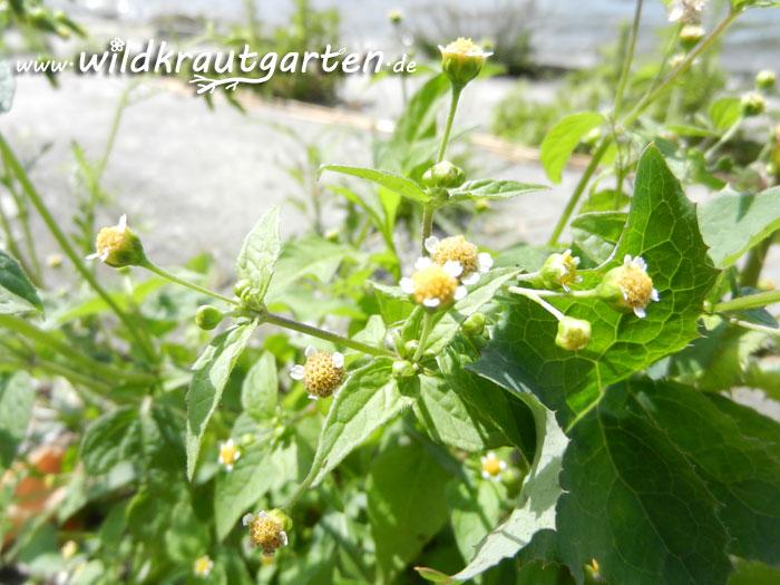 Wildkrautgarten_Knopfkraut1