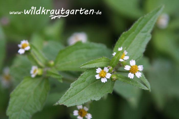 Wildkrautgarten_Knopfkraut2