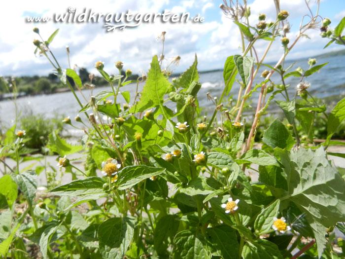 Wildkrautgarten_Knopfkraut3