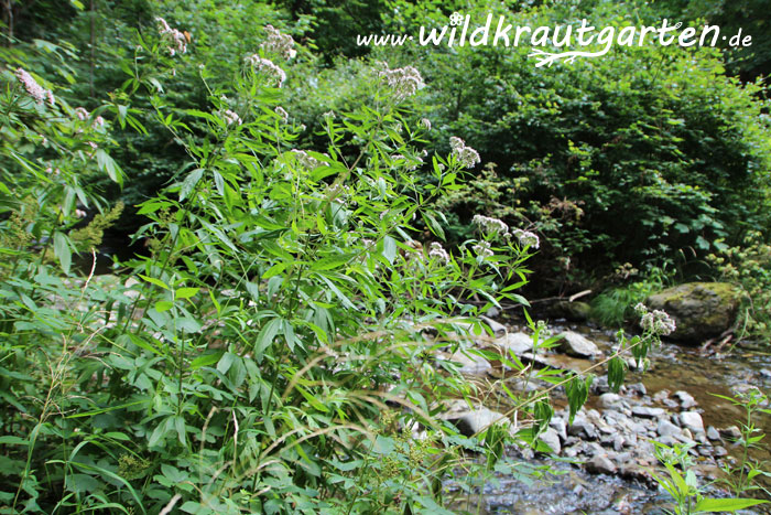 Wildkrautgarten_Wasserdost1