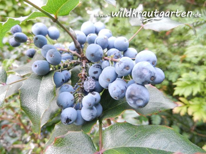 Wildkrautgarten_Mahonie