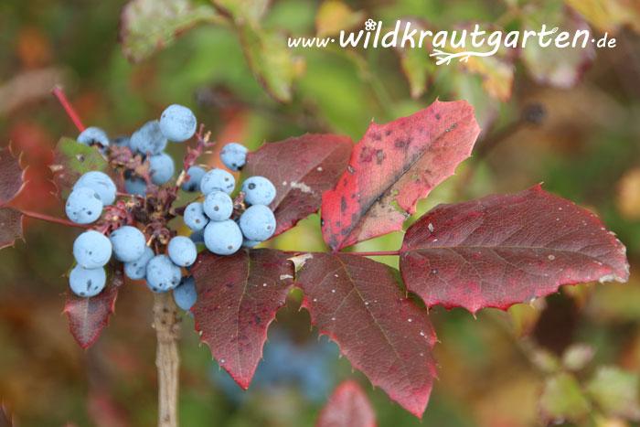 Wildkrautgarten_Mahonie12