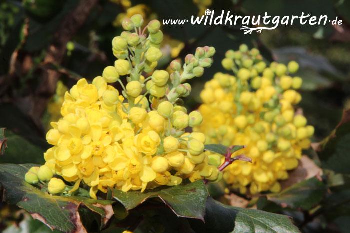 Wildkrautgarten_Mahonie4