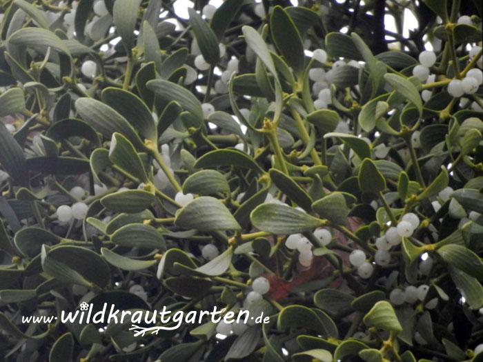 Wildkrautgarten_Misteln_Beeren