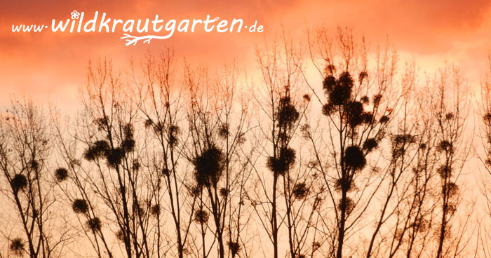 Wildkrautgarten_Misteln_Sonnenaufgang