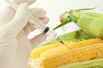 Sweet corn, genetic engineering